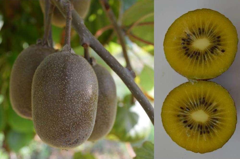 'Lihuen': la primera variedad chilena de kiwi de pulpa amarilla
